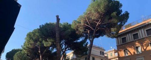 I pini di Corso Trieste
